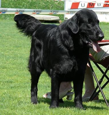 Labrador pelo largo negro